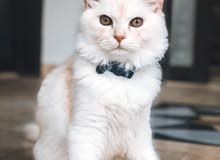 قط شيرازي ( ذكر )