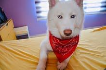 white Siberian Husky هاسكي أبيض