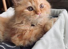 قط شيرازي ذكر - Kitten