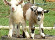 الماعز القزم او البقمي