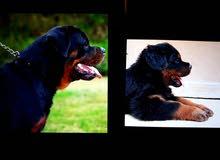 Rottweiler puppies for sale - جراوي روت وايلر للبيع