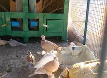 للبيع مجموعة عفاد او للبدل ب طيور زينه