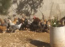 دجاج بلدي بسعر كويس