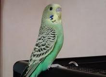طائر البادجي للبيع