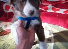 كلب من نوع بوردر كولي لبيع بسعر مناسب