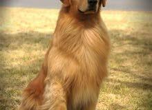 مطلوب كلب مثل اللي بالصوره عمره شهرين