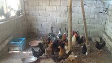 دجاج عربي للبيع يدحي مشاء الله