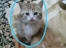 قط شيرازي مكس تركي