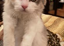 قطط شيرازية للبيع ذكر وأنثى عمرهم 3 شهور