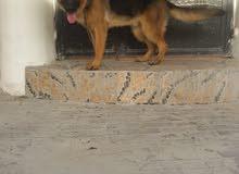 للبيع كلب بوليسي  عمره سبع شهور لاسرع متصل
