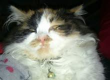 قطة اجنبية للبيع