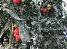 صالة زراعية (بنظام الزراعة بدون تربة)
