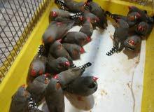 طيور الجنه 25ذكر للبيع دينار وربع للعصفور