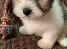 كلب شيتزو للبيع عمره شهرين مع دفتر تطعيم