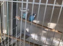 طيور البادجي للبيع الحبه 50