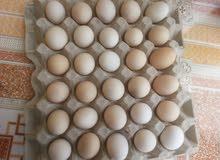 بيض عماني مخصب