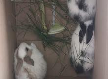 للبيع أرانب عمانيات