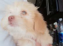 كلب فرنسي تيرير