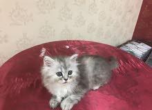 قطه شيرازي كيتن للبيع