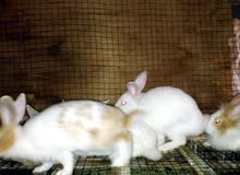 يوجد لدينا أرانب بلدي وهولندي وفرنسي جميع الاحجام وبأسعار ممتازه جدا وبط جميع جم