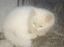 قطه شيرازي للبيع عمر شهرين