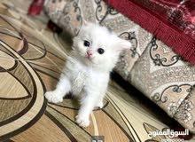 قطط للبيع. شيرازي