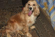 كلبة كوكر اسبانى