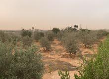 هكتار في الطلحية بنغازي