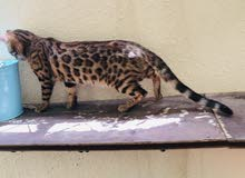Bengal male cat