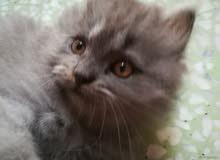 deux chatons de race perçant age deux mois