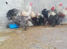 ديوك ودجاج براهما