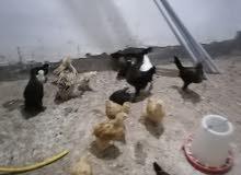 بيع دجاج  عرب