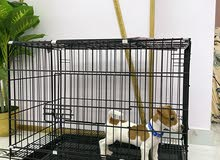 jack russell 5 months old for sale