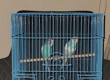 طيور البادجي