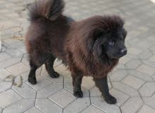 chow chow   male  black color 8 months