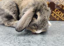 لوب loop rabbit