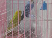 طيور بلابل