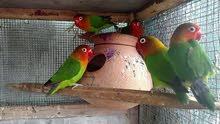 فشر لوڤبيرد Fischer Birds