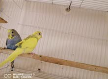 طيور الحب زوج