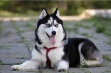 مطلوب كلب هاسكي نثيه (لونك هير)