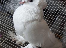 طير الصفاقي