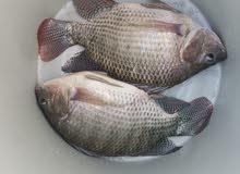 سمك مشط وزن من 600 ال 1000غم