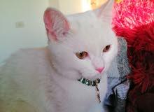قطة شيرازي للبيع لون ابيض