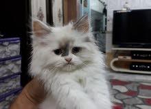قطط هملايا وكاليكو شكل يخبل والوان مميزة
