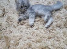 قطة شرازيه