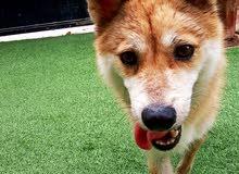 كلب زينة: تيكا