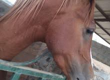 حصان عربي اصيل باوراق للبيع