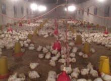 دجاج وطني لحم العدد 5000المكان سرت الوزن 3كيلو