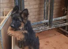 كلبه جيرمن عمر شهرين
