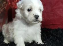 جروه هافنييز أبيض شهر ونص white Havanese puppy
